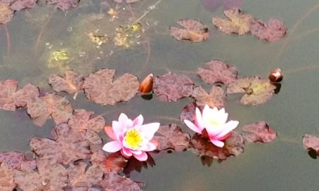Lotus ©VSpain